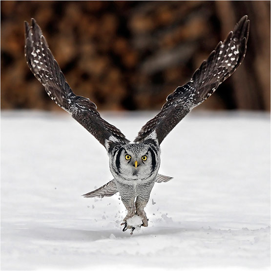 Owl Perfectly Timed Animal Photography