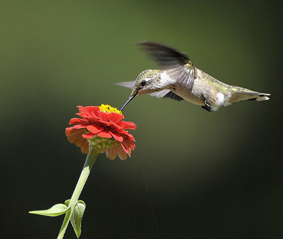 Ruby Throated Hummingbird Photography