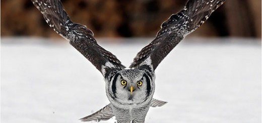 Owl-Perfectly-Timed-Animal-Photography
