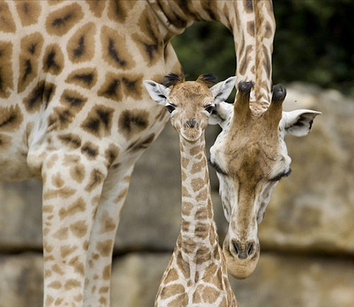 Giraffe in Cute Animals Pictures