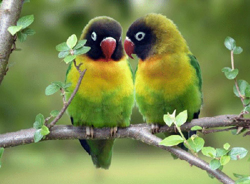 cute Love-birds wallpapers