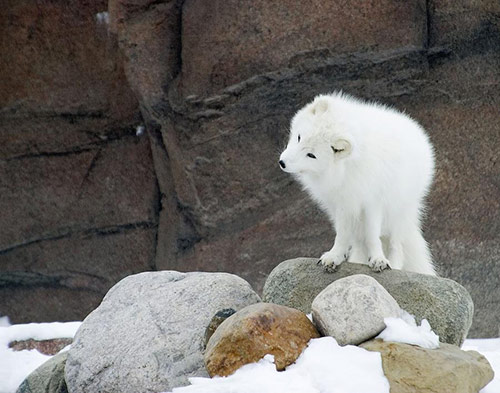 Arctic Fox in Cute Animals Pictures