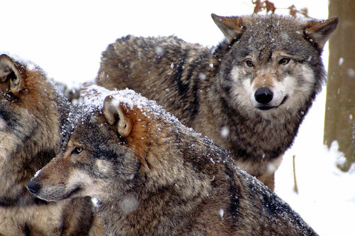 04 wolves winter in Winter Wonderland: 34 Amazing Pictures of Animals