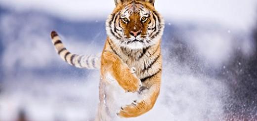 Siberian-Tiger
