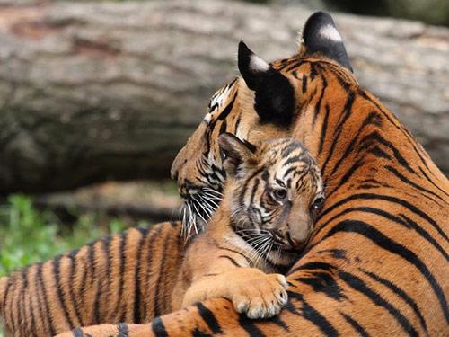 cub hugs tiger mom