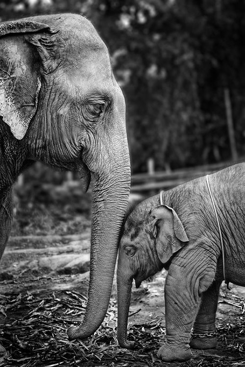 Elephant Love in Cute Pictures of Baby Animals getting Parents Care