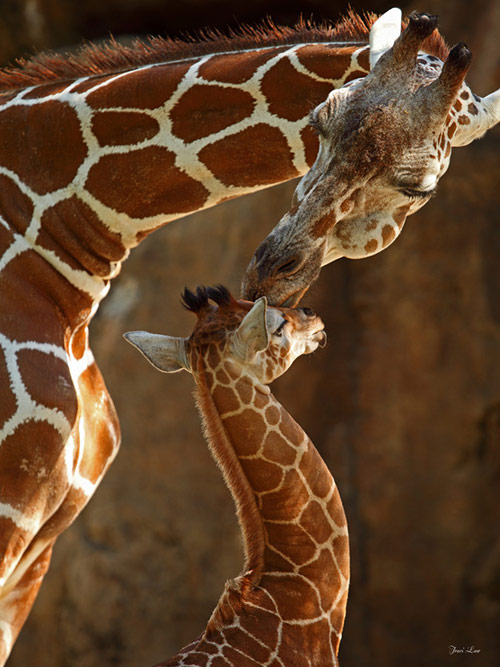 Mothers Kiss in Cute Pictures of Baby Animals getting Parents Care
