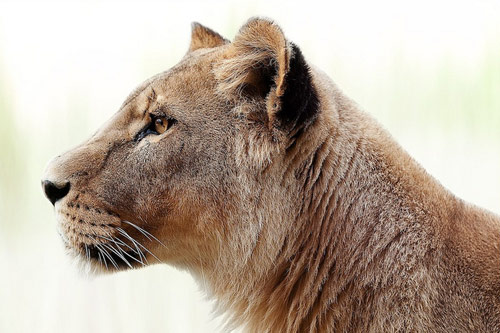 Focused Lioness