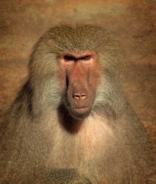 Portrait of a female baboon