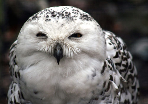 Animal Photography - Snowy Owl