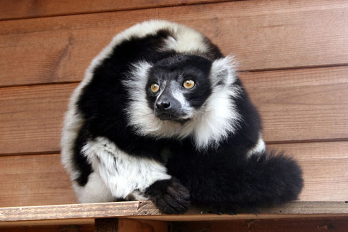Animal Photography - Lemur