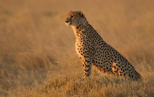 Cheetah - Botswana - Okavango