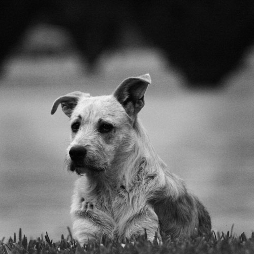 A Noble Dog
