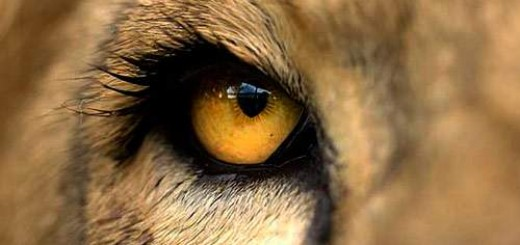 eye-of-lion