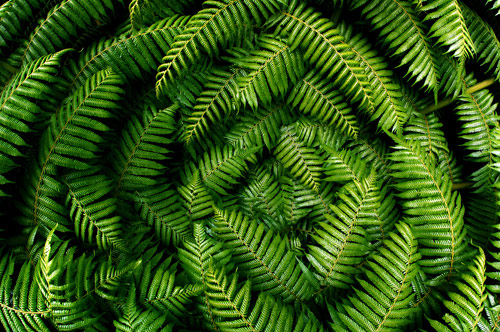 New Zealand Tree Fern Fronds