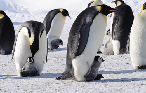 Emperor Penguin in antarctica pictures