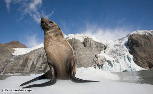 A fur seal in the snow in antarctica pictures