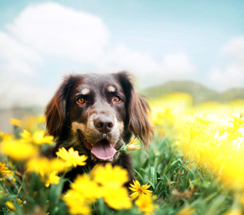 In Bloom - creative portraits of pet dogs