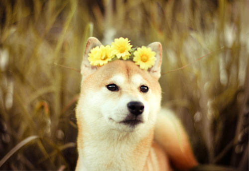 The Flower Princess - creative portraits of pet dogs