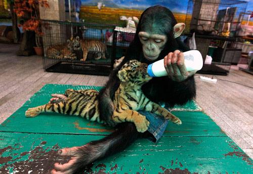 Monkey feeding Cub