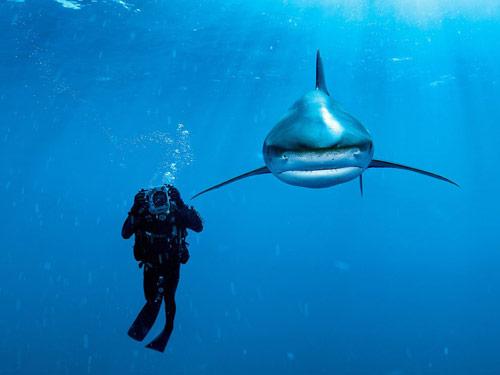 Whitetip Shark Bahamas