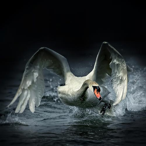 A swan very angry
