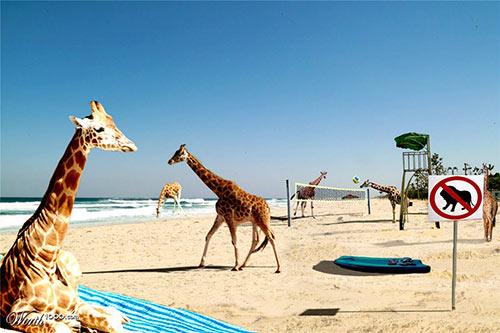 Giraffe Land