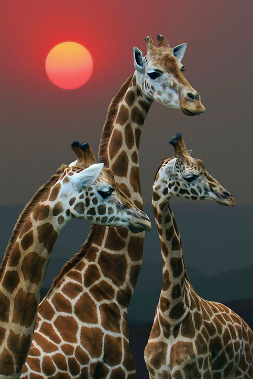 Sunset with Giraffes - Kenya - Random Photos Inspiration